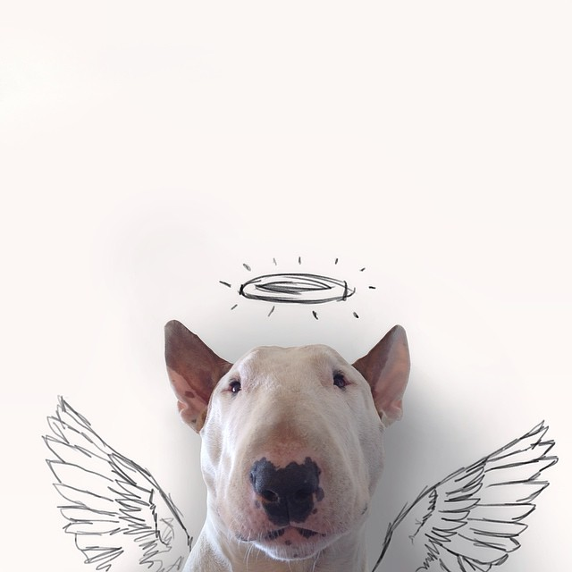 Rafael Mantesso Bull Terrier